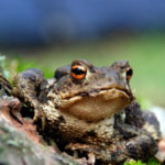 Bufo-Cane-Toad-Toxicity-and-Your-Pet