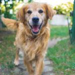 Older pet: Golden retriever dog