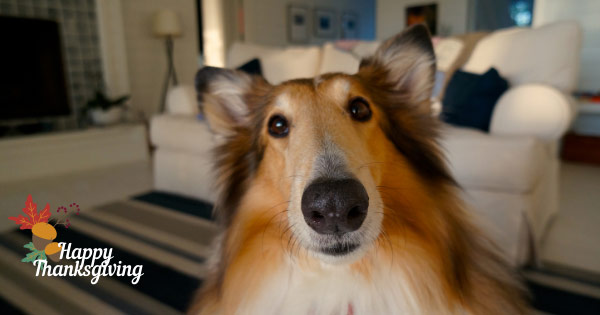 Close up of Collie dog at Thanksgiving.