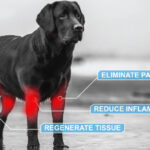 Black dog candidate for Acti-Stem Therapy for Pets. Ac