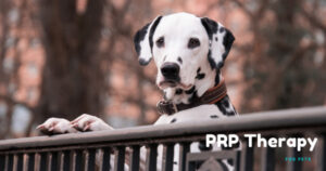 How-Platelet-Rich-Plasma-Therapy-Can-Benefit-Your-Pet