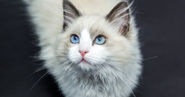 Healthy white fluffy cat after annual wellness exam.