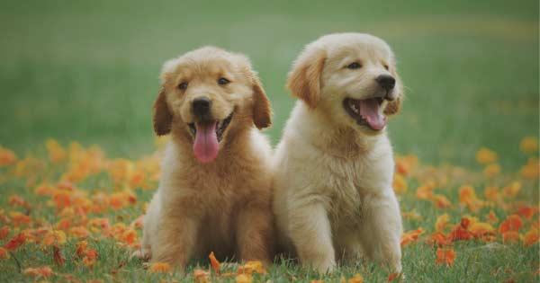 2 golden retriever puppies sitting on green grass.