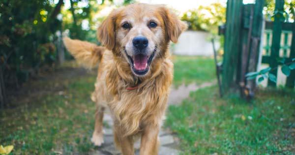 Golden Retriever dog standing on pathway.