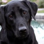 Close up of black lab pet.